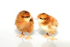 Pollo marrón dos Imagenes de archivo