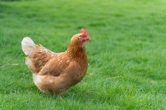 Pollo marrón sano Fotos de archivo