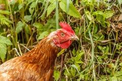 Pollo marrone divertente con uno sguardo interessante Immagini Stock Libere da Diritti
