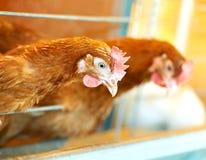 Pollo marrone due Immagine Stock