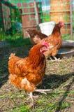 Pollo marrone in tensione Immagine Stock