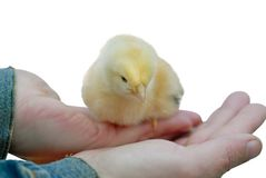 Pollo mullido del bebé fotos de archivo libres de regalías