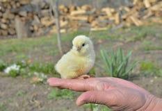Pollo muy pequeño Imagen de archivo