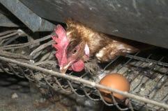 Pollo nacional fotografiado, gallina, que guardó su huevo Imágenes de archivo libres de regalías