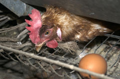 Pollo nacional fotografiado, gallina, que guardó su huevo Fotografía de archivo