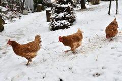 Pollo nacional que come junto en la granja de la hierba en el invierno fotografía de archivo