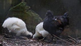 Pollo negro del silkie en la granja almacen de metraje de vídeo