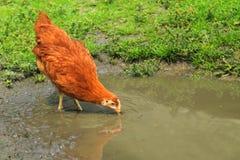 Pollo nel biofarm Immagine Stock
