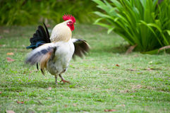 Pollo nell'azienda agricola Fotografia Stock