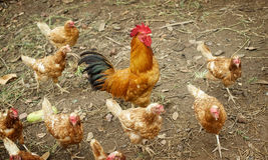 Pollo nell'azienda agricola Fotografia Stock Libera da Diritti