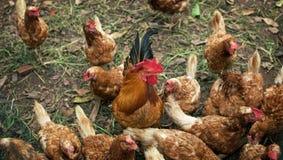 Pollo nell'azienda agricola: primo piano Immagine Stock