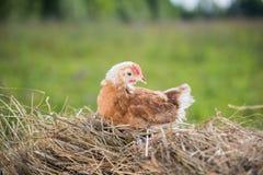 Pollo nella mangiatoia Fotografie Stock Libere da Diritti