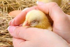 Pollo neonato che dorme in mano umana fotografie stock
