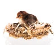 Pollo neonato sveglio Fotografie Stock