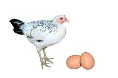 Pollo nero bianco delle galline e un isolato di due uova su fondo bianco Fotografia Stock Libera da Diritti