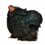 Pollo nero della razza di Cochin Cina Immagini Stock
