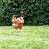 Pollo nudo del collo Fotografia Stock Libera da Diritti
