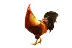 Pollo organico isolato su fondo bianco Fotografia Stock Libera da Diritti