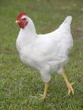 Pollo que da un paseo Imagenes de archivo
