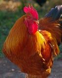 Pollo que gana premiado Fotos de archivo