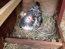 Pollo que pone un huevo Imagen de archivo libre de regalías