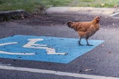 Pollo que se coloca en un símbolo del aparcamiento de la incapacidad fotografía de archivo