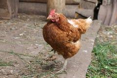 Pollo que se coloca en una pierna Imagen admitida la yarda del ganado (granja) Fotografía de archivo