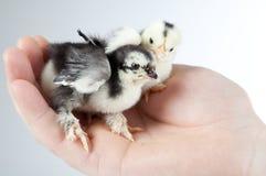 Pollo que se sienta en un hand.GN Foto de archivo libre de regalías