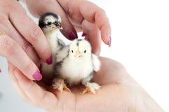 Pollo que se sienta en un hand.GN Fotografía de archivo