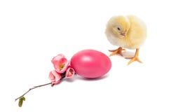 Pollo recién nacido amarillo del bebé aislado en blanco Imagen de archivo