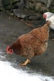 Pollo rojo imagenes de archivo