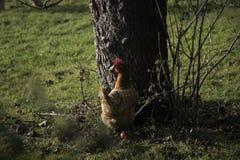 Pollo rosso accanto all'albero, esaminante macchina fotografica Fotografia Stock