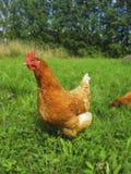 Pollo rosso che cammina sull'erba nel villaggio di estate Fotografia Stock Libera da Diritti