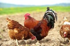 Pollo ruspante e un gallo bello Immagine Stock Libera da Diritti