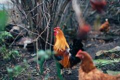 Pollo rustico in un ambiente naturale Immagini Stock