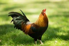 Pollo selvaggio di Feral Rooster Public Park Oahu Hawai Immagini Stock