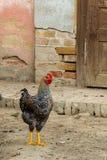 Pollo su di cortile tradizionale immagini stock libere da diritti