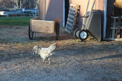 Pollo su un'azienda agricola Fotografia Stock Libera da Diritti