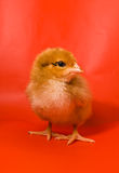 Pollo su una priorità bassa rossa Fotografie Stock