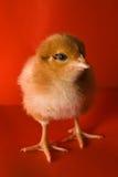 Pollo su una priorità bassa rossa Fotografia Stock