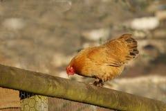 Pollo sul recinto Fotografie Stock