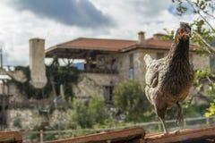 Pollo sul tetto del riparo su un'azienda agricola Fotografia Stock