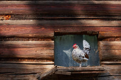 Pollo sull'azienda avicola libera tradizionale della gamma immagine stock libera da diritti
