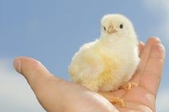 Pollo sulla palma Immagini Stock