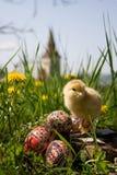 Pollo sulle uova di Pasqua Immagine Stock