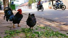 Pollo sulle vie di Hanoi Fotografia Stock