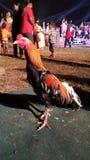 Pollo tailandese Fotografia Stock Libera da Diritti
