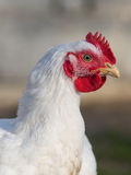 Pollo tomatero Fotos de archivo
