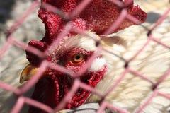 Pollo a través de la cerca Fotos de archivo