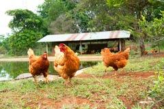Pollo in un'azienda agricola d'agricoltura tradizionale esterno Immagini Stock